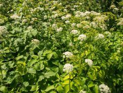 Kirskål – det struliga ogräset och hur du får bort det!