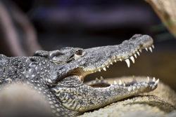 Krokodilmannen: Det här gör jag nu
